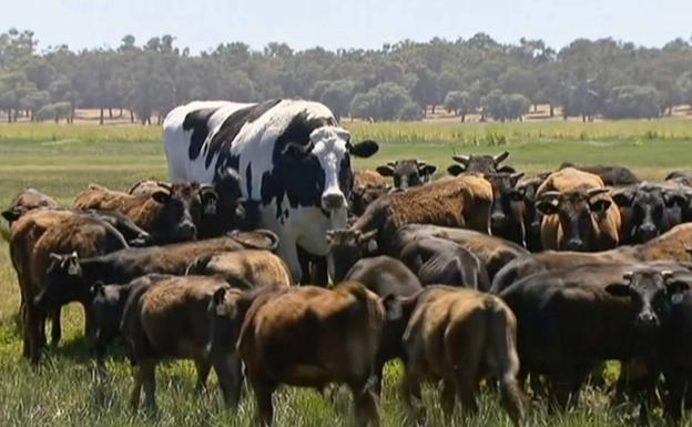 La extraña vaca gigante que se salvó del matadero por su tamaño