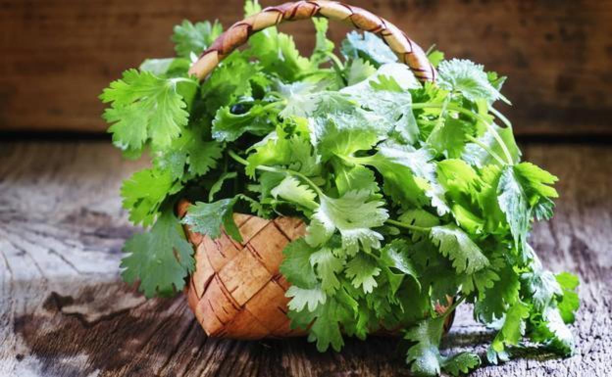 El cilantro, conoce las propiedades de esta hierba aromática