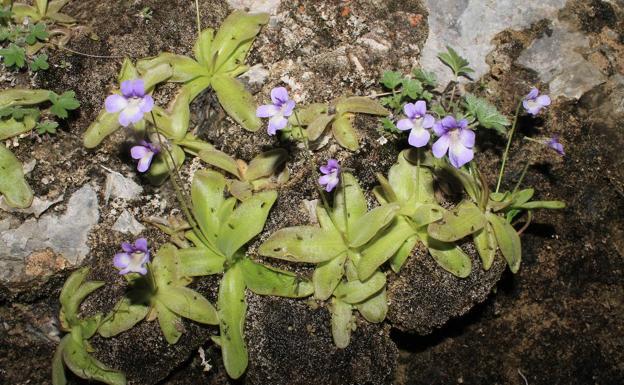 La planta carnívora 'Pinguicula_tejedensis'. /P. Jiménez-Mejías.